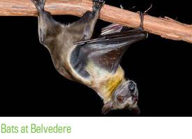 Bats at Belvedere
